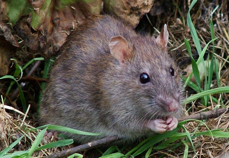 eliminar-roedores